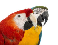 Close-up of a Blue-and-yellow Macaw, Ara ararauna, 30 years old, and Green-winged Macaw, Ara chloropterus, 1 year old Stock Photography