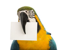 Close-up of a Blue-and-yellow Macaw, Ara ararauna, 30 years old, holding a white card in its beak Stock Photography