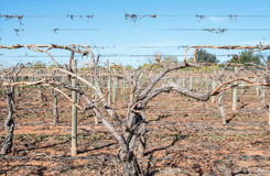 Close View of Grape Vine Canes on Trellis. Stock Images