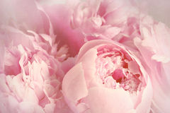 Closeup of peony flowers Stock Photography
