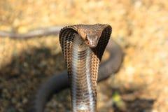 Cobra snake in India Stock Image