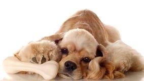 Cocker spaniel dog with bone Stock Photography