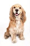 Cocker Spaniel Dog Isolated on White Stock Photography