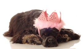 Cocker spaniel princess Royalty Free Stock Image