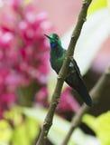 colibrì brillante Verde-incoronato Immagini Stock