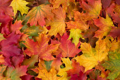 Colorful fall leaves Stock Image