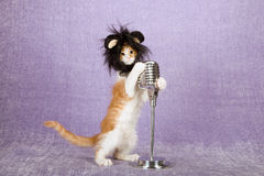 Comical funny kitten wearing black furry animal wig with large ears holding onto vintage fake microphone on stand Royalty Free Stock Image