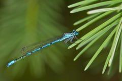 Common blue-tailed damselfly Stock Photo