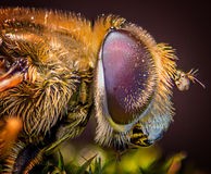 Compound fly eye macro Royalty Free Stock Photography
