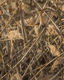 Corn Bunting camouflaged in reed Royalty Free Stock Image