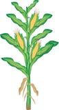 Corn plant Stock Images