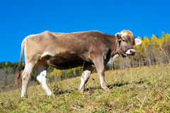 Cow in autumn Royalty Free Stock Photo