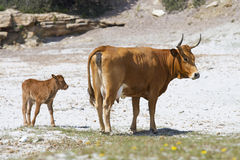 Cow with calf Royalty Free Stock Photography