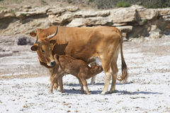 Cow feeding a calf Stock Images
