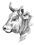 Cow head Stock Photography