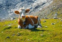 Cow on a mountain meadow Stock Photo