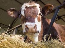 Cow in shed Royalty Free Stock Image