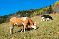 Cows in autumn Royalty Free Stock Photo