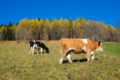 Cows in autumn Stock Photo