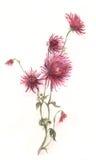 Crimson chrysanthemum flower watercolor painting Royalty Free Stock Image