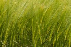 A crop of green Barley Stock Image