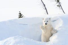 Cucciolo dell'orso polare (ursus maritimus) che viene fuori tana Fotografia Stock