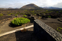 Cultivation home viticulture  lanzarote spain   geria   screw Stock Image