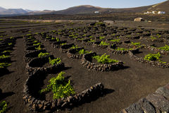 Cultivation home viticulture  winery lanzarote vine screw grapes Royalty Free Stock Photos