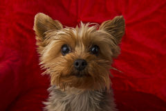 Curious Yorkie Royalty Free Stock Photography