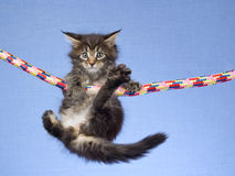 Cute Maine Coon kitten hanging from rope Royalty Free Stock Photography