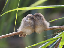 Cute Reed Warblers Royalty Free Stock Images