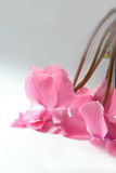 Cyclamen blossoms Royalty Free Stock Photos