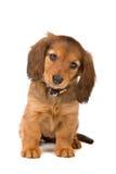 Dachshund puppy Royalty Free Stock Image