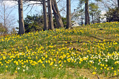 Daffodil HIll Royalty Free Stock Photos