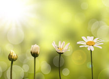 Daisies on green nature background Stock Photography