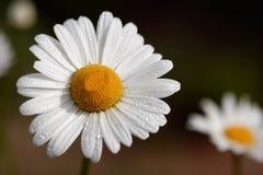 Daisy Dream Stock Photography
