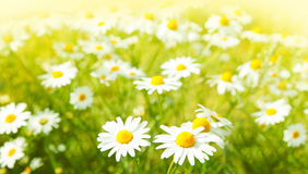 Flowers field Royalty Free Stock Images