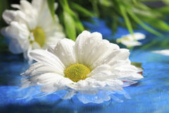 Daisy over the water Royalty Free Stock Photo