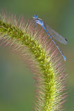 Damselfly on foxtail Stock Images