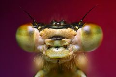 Damselfly portrait Royalty Free Stock Images