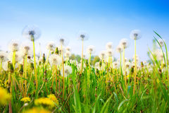 Dandelions Royalty Free Stock Photography