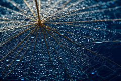 Dandillions with droplets Stock Images