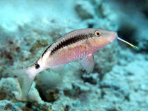 Dash-and-dot goatfish Royalty Free Stock Photography
