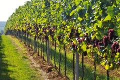 De druivenrijen van de wijn Stock Afbeelding