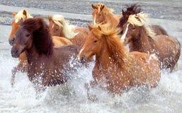 De paarden van IJsland Stock Foto