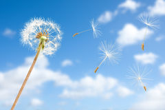 De zaden die van de paardebloem in hemel vliegen Royalty-vrije Stock Fotografie