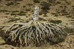Dead Dragon Blood Tree, Dracaena cinnabari, Socotra dragon tree, Threatened species Royalty Free Stock Photos