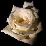 Decorative white rose Stock Images
