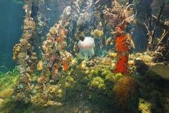 Den undervattens- mangroven rotar och färgrikt marin- liv Arkivbild