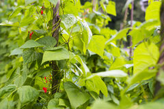 Die Bohnen (Phaseolus vulgaris) anbauen Stockbilder